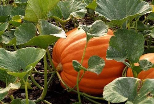 Посадка тыквы в открытый грунт: правила выращивания и ухода