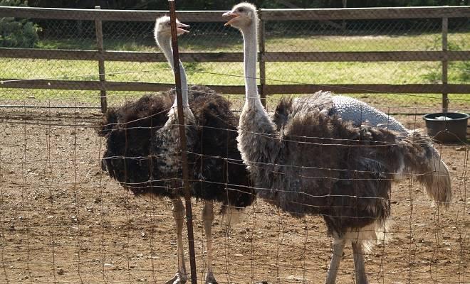 Яйценоскость и средний вес страусиного яйца — узнаем интересные факты!