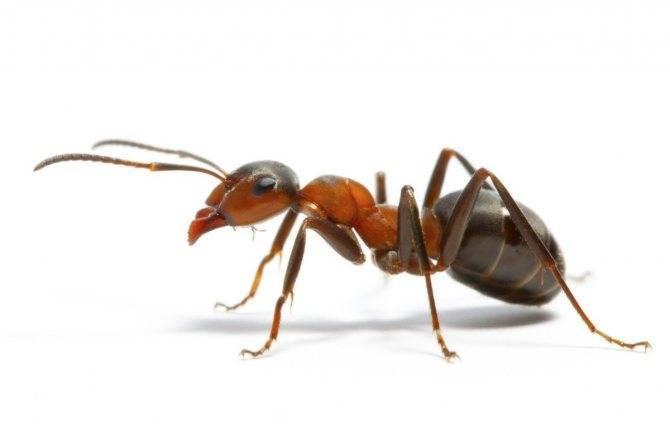Домашние муравьи – причины появления и способы борьбы с ними: обзор +видео