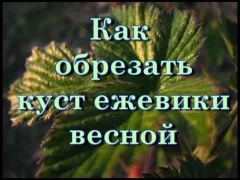 Ежевика: уход и выращивание, размножение и обрезка