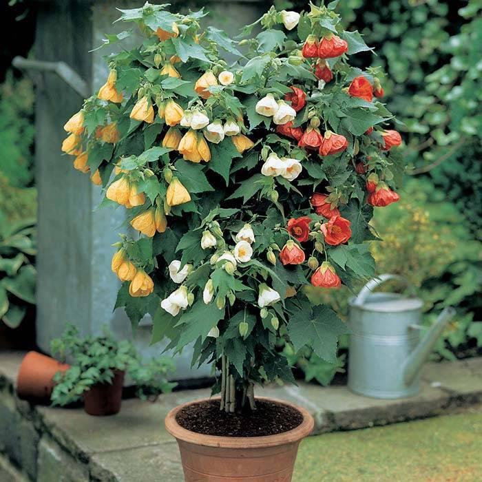 Как выращивать и ухаживать за абутилоном в домашних условиях