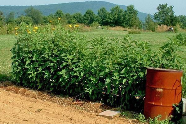 Как вырастить топинамбур, посадка земляной груши на даче