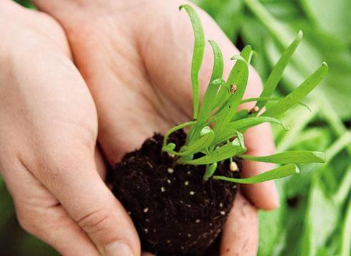 Подробные советы о том, как сажать шпинат в открытый грунт семенами и рассадой