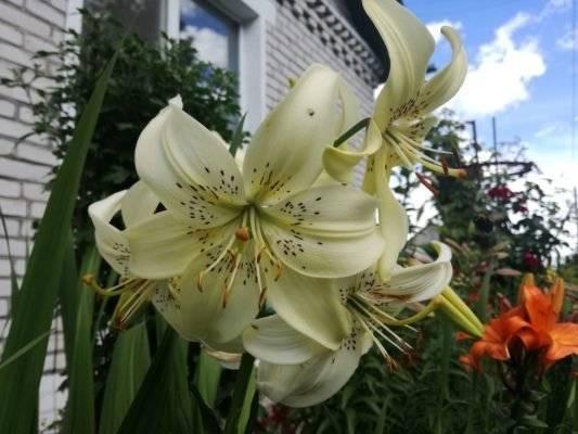 Чем удобрять лилии при посадке? что вносить в почву для их выращивания?