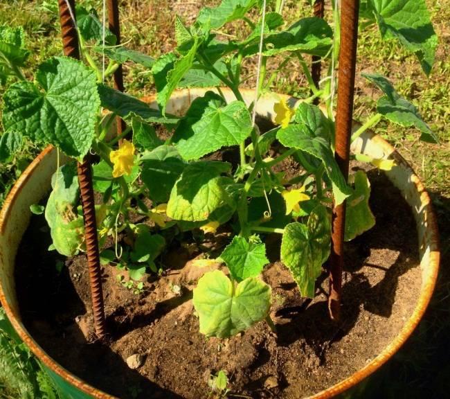 Нестандартные способы выращивания огурцов (в мешках, в бочке, в бутылках)