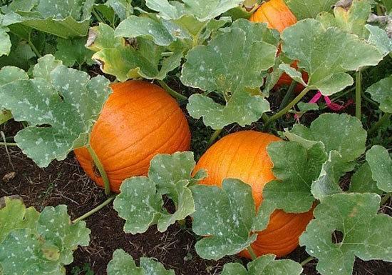 Выращивание тыквы несколькими способами