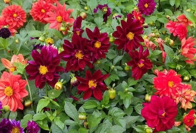 Как правильно посадить георгины, рекомендации по выращиванию
