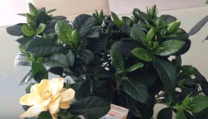 Как выращивать гардении в домашних условиях