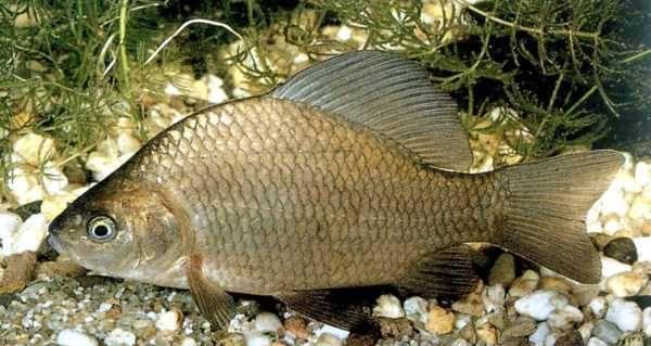 В пруду рукотворном рыбу лови — прямо на даче её разводи!