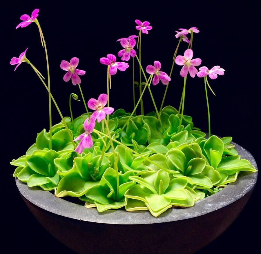 Хищные растения — насекомоядные цветки в домашних условиях