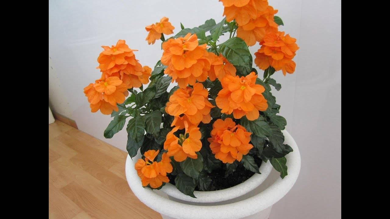 Руэллия: как ухаживать за растением в домашних условиях