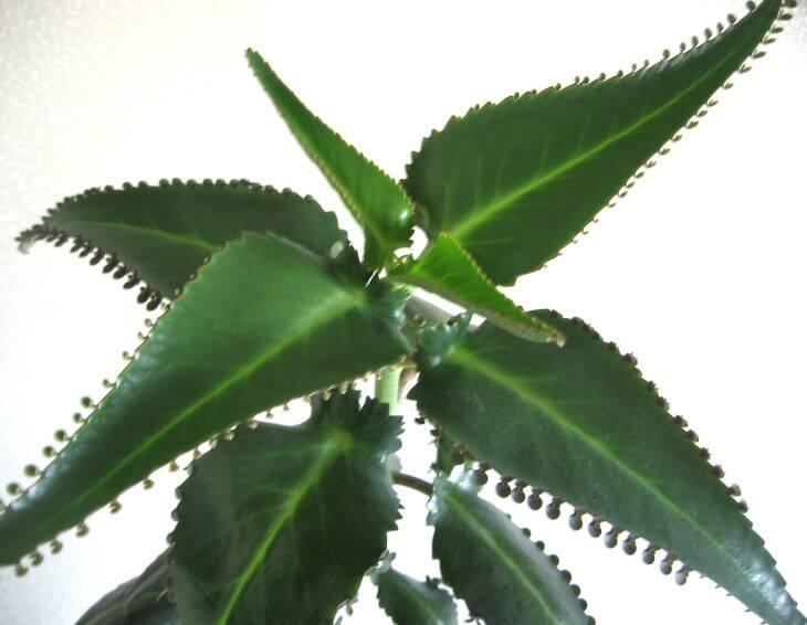 Причины пожелтения листьев каланхоэ и их решение