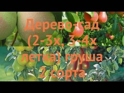 Груша память жегалова: растим душистую красавицу в саду
