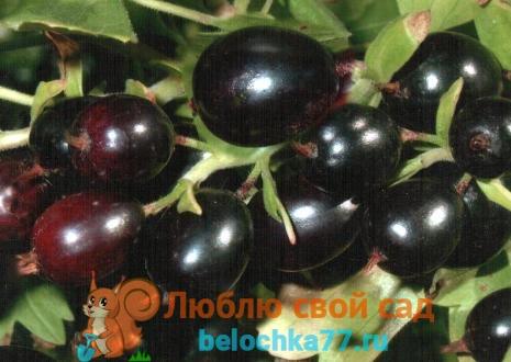 Посадка черной и красной смородины