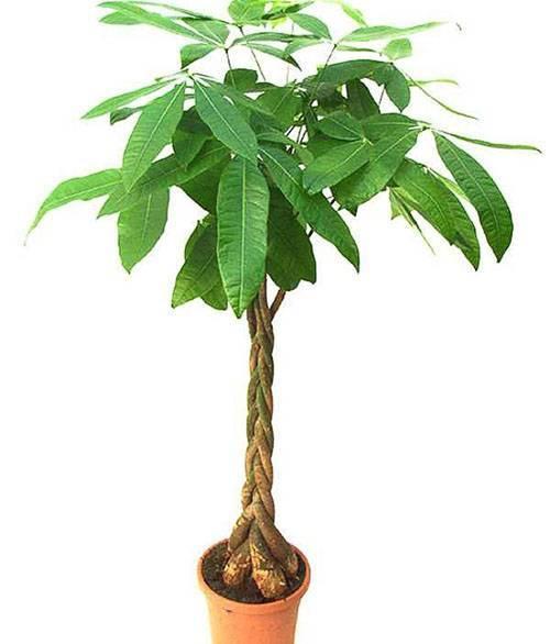 Как вырастить авокадо дома - пошаговая инструкция