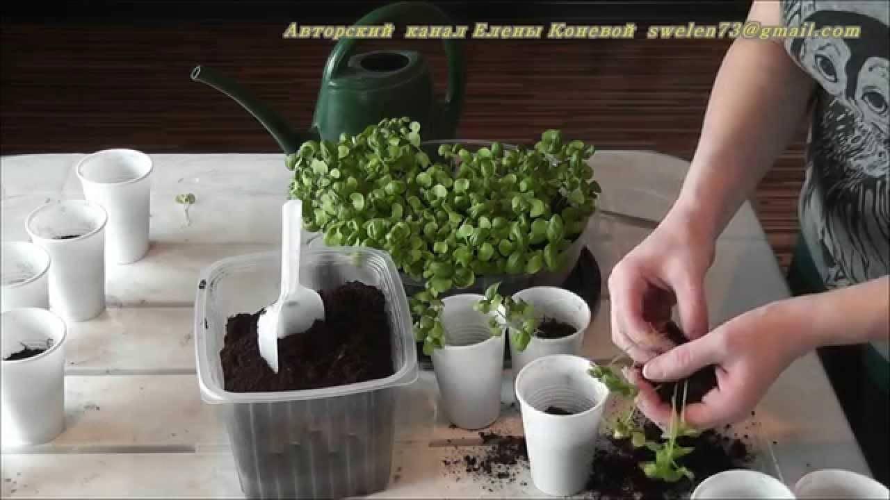 Как вырастить базилик в домашних условиях: советы начинающим садоводам