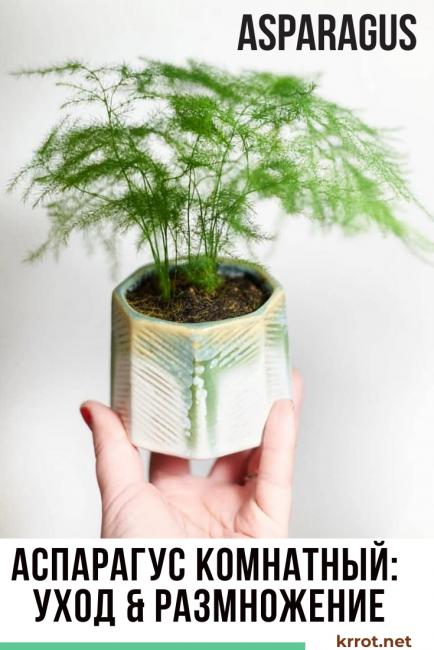 Аспарагус — выращивание и уход в домашних условиях