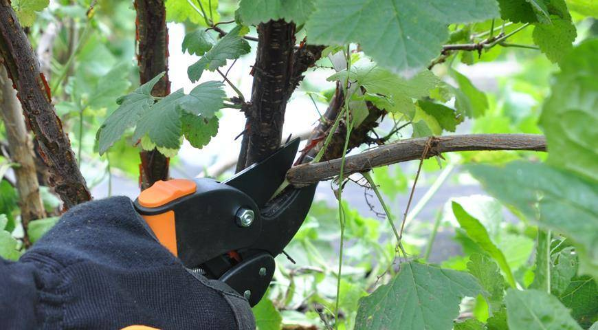 Как ухаживать за кустами смородины в осенний период?