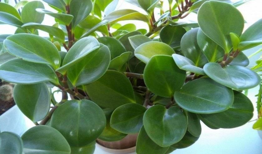 Размножение пеперомии листом, способы укоренения