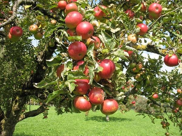 Зимняя яблоня уэлси — чемпион по урожайности и лежкости плодов