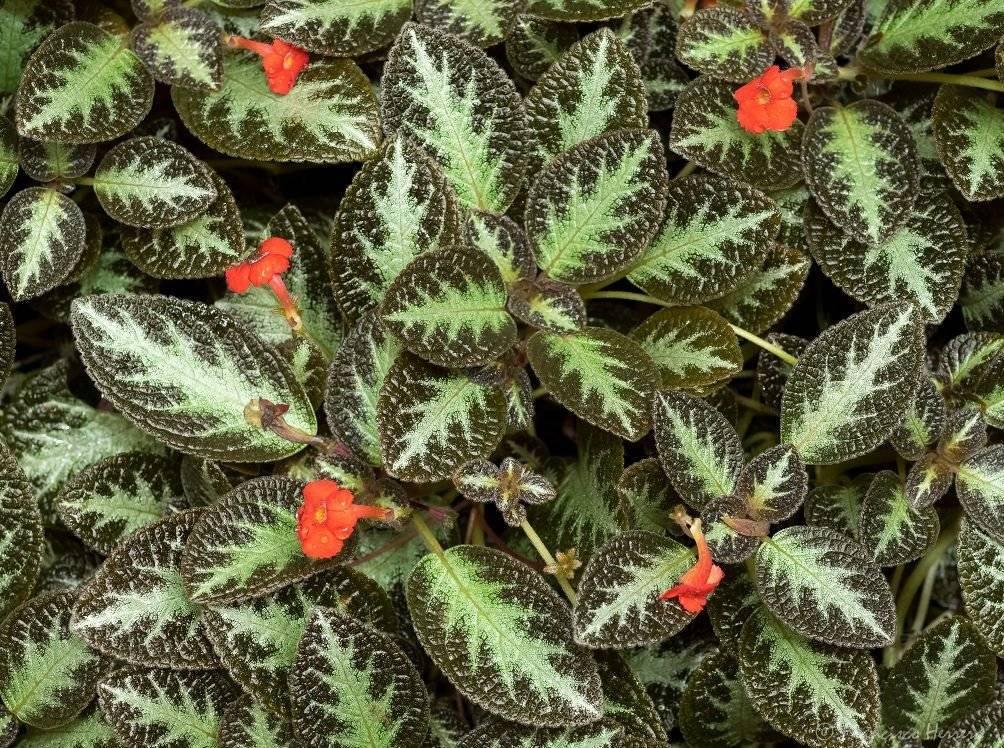 Эписция: правильный уход в домашних условиях, размножение листом