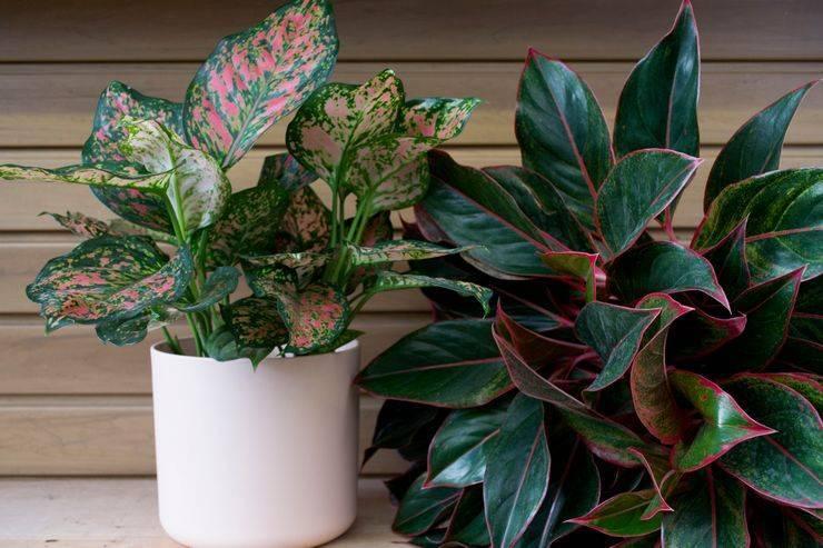 Особенности домашнего цветка аглаонемы
