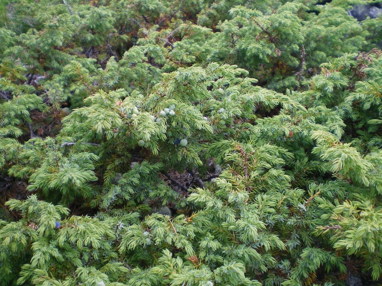 Выращивание можжевельника китайского стрикта