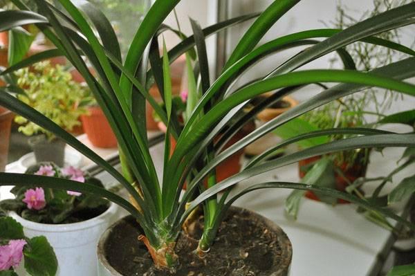 Выращиваем кливию в домашних условиях: секреты и тонкости размножения бархатных тропических колокольчиков