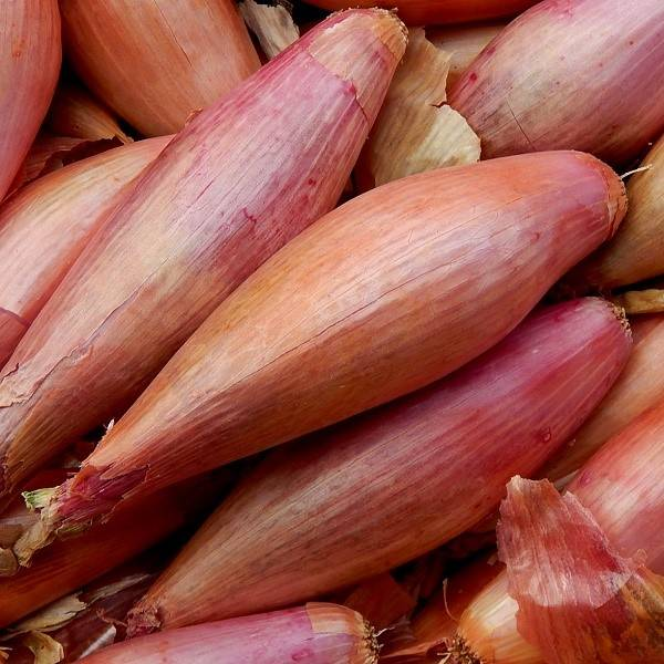 Лук-шалот: описание, выращивание, уход и сорта