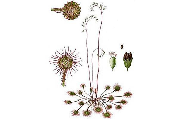 Как собрать, обработать и вырастить семена хвойников на рассаду