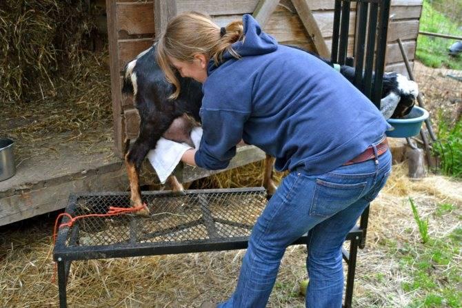 Болезни коз и козлят — их симптомы и лечение, опасность для человека