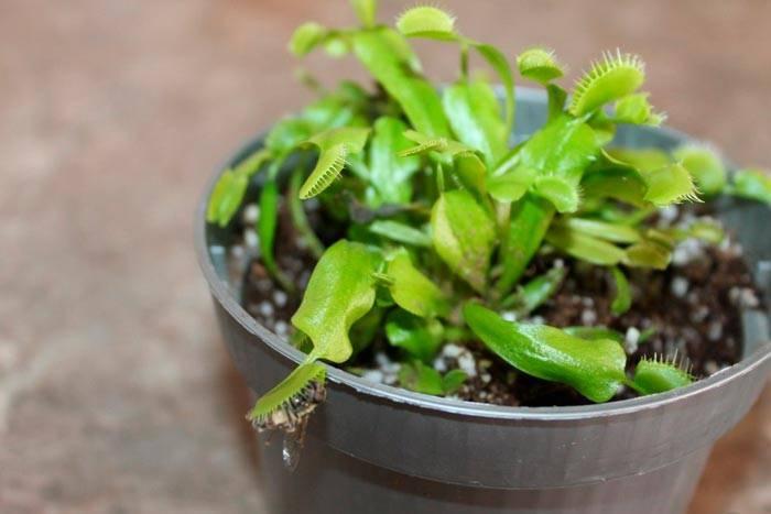 Выращивание тимьяна в саду, особенности посадки и ухода, видео