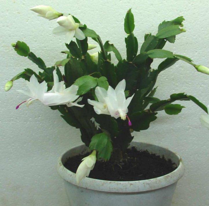 Как ухаживать за кактусом в домашних условия: все о потребностях экзотических растений