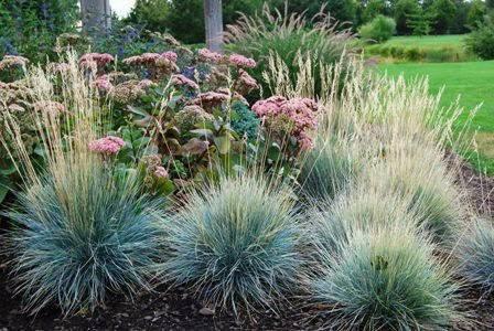 С чем сочетается овсяница сизая. овсяница голубая - украшение сада