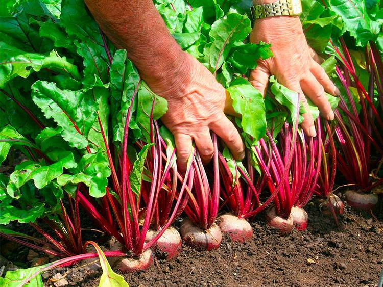 Удобрения для свеклы при посадке и выращивании