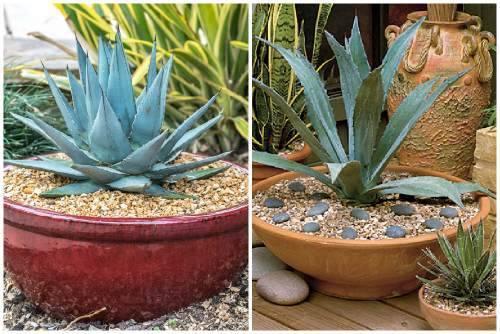 Растение агава в домашних условиях – неужели впервые цветет через 50 лет?