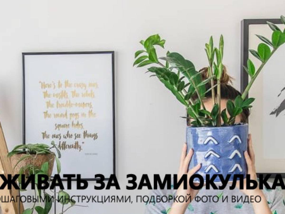 Замиокулькас — уход в домашних условиях за шикарным долларовым деревом