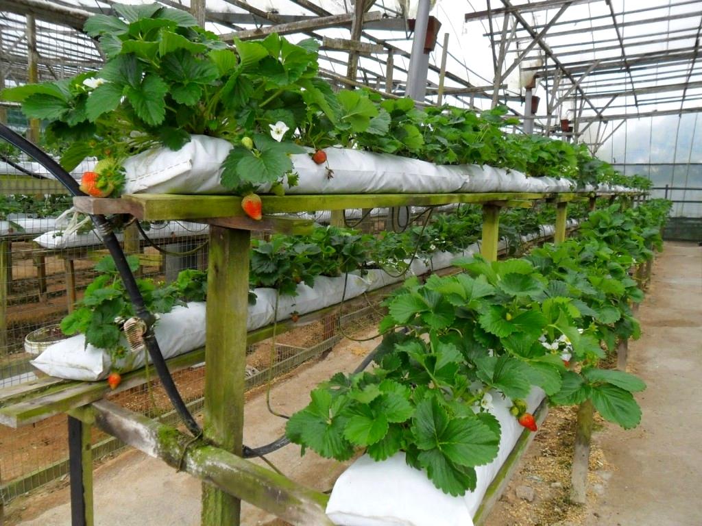Голландская технология выращивания клубники круглый год