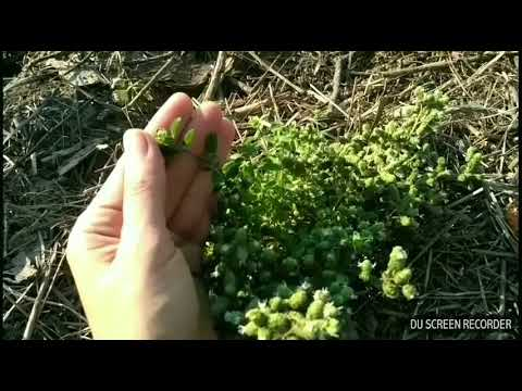 На заметку дачнику: выращивание майорана из семян и рассадой