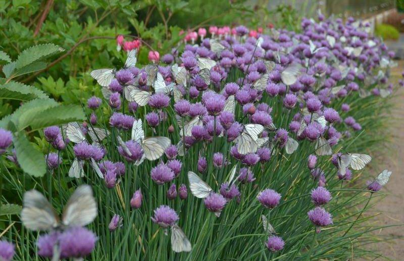Лук на зелень: посадка и выращивание на грядке