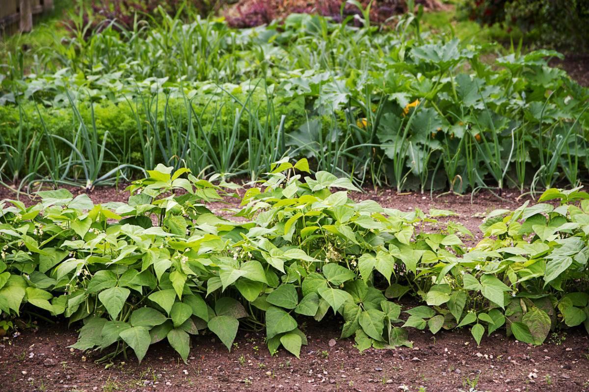 Земляничный шпинат – настойчивый, но красивый, полезный и съедобный сорняк на вашей грядке