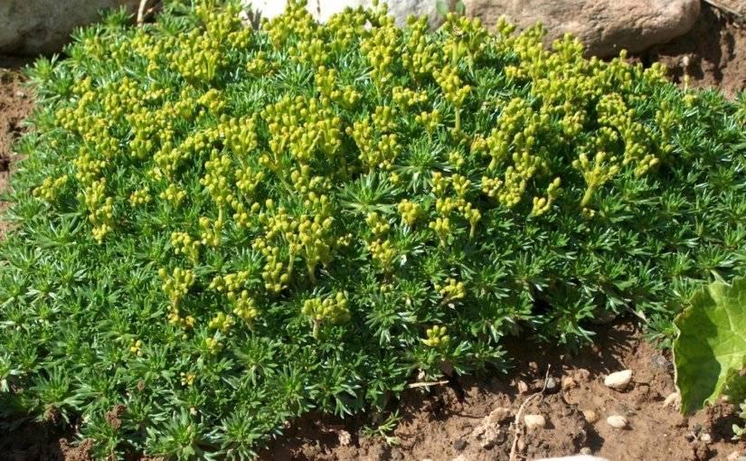 Афеландра (aphelandra), уход, размножение, проблемы при выращивании.