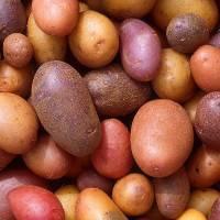 Вкусный гость из голландии — картофель «инноватор» : описание сорта, характеристика