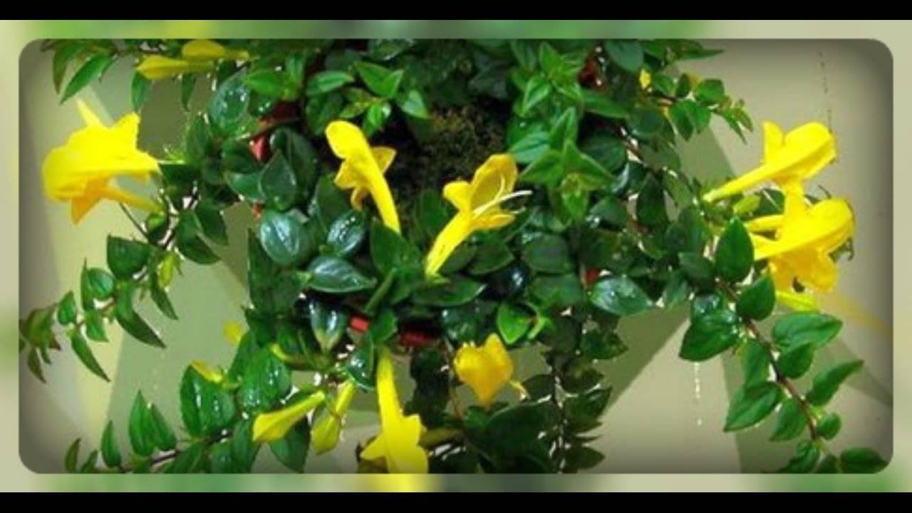 Что делать если каланхоэ не цветет и вытягиевается – спровоцируем цветение
