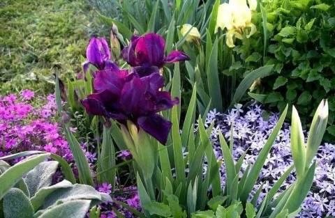 Луковичные ирисы: как правильно посадить и ухаживать за растением