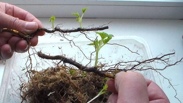 Раскрываем секреты размножения черноплодной рябины (аронии)