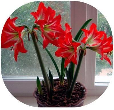 Цветок гиппеаструм: уход в домашних условиях