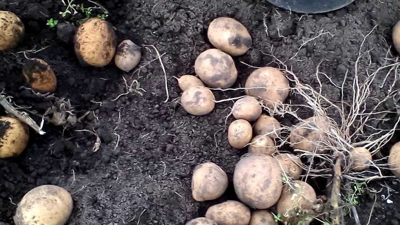 Картофель киви: описание и характеристика, фото и отзывы