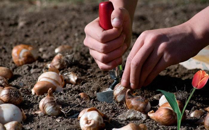 Когда сажать тюльпаны