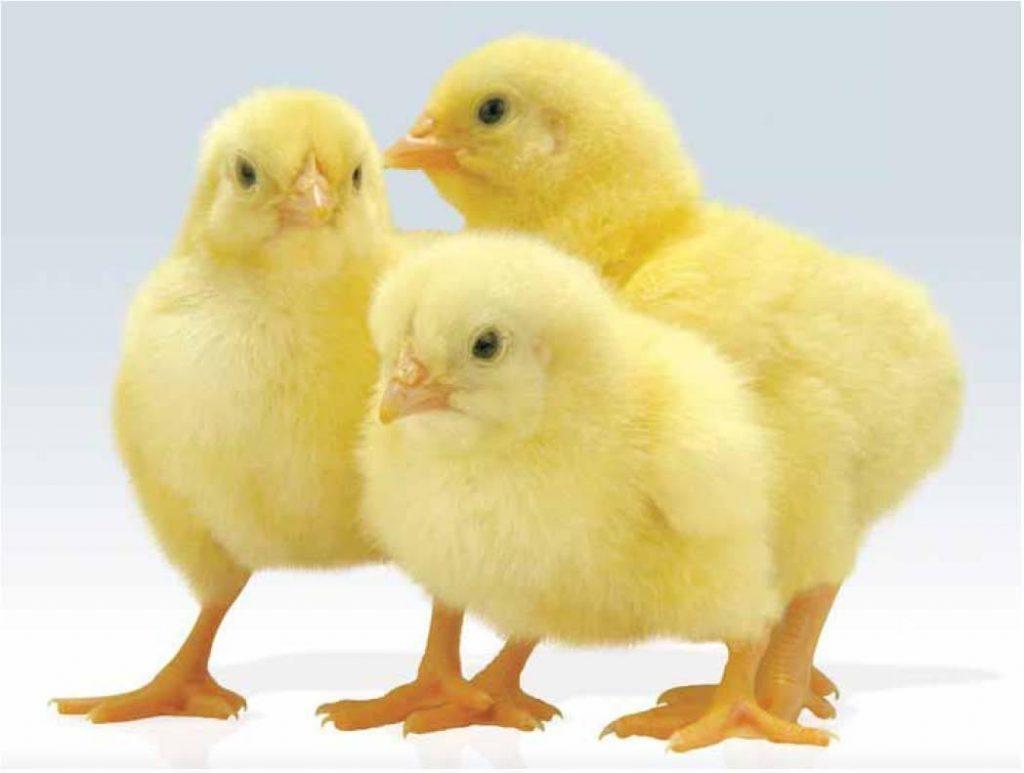 «байкокс» для цыплят: особенности применения